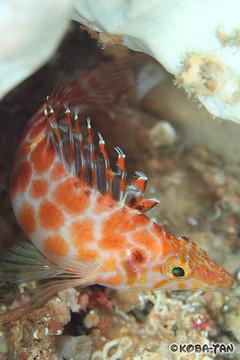 Cirrhitichthys guichenoti
